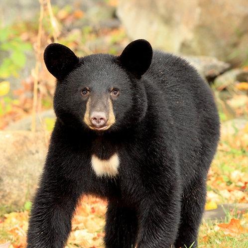 Case Study: New Jersey Black Bears (Teacher & Student Edition)