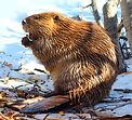 Beaver 1.jpg