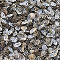 Oysters%201_edited.jpg