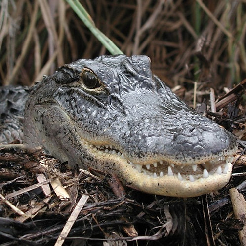 Case Study: American Alligators (Teacher & Student Edition)