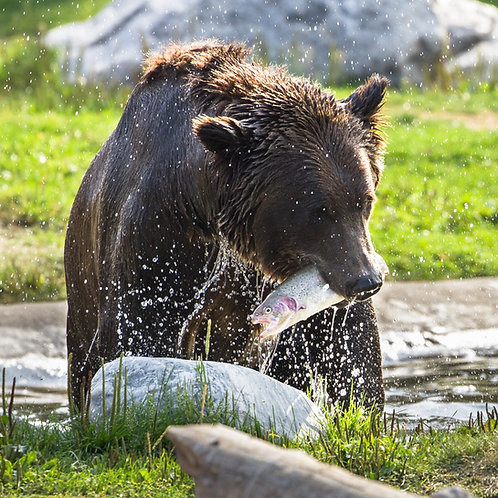 Case Study: Yellowstone Grizzly Bears (Teacher & Student Edition)