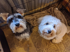 Nola the mini Schnauzer and Ruger the Havanese