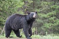 bear-803.jpg