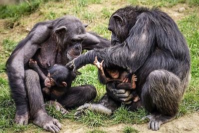 chimps-3707292_1920.jpg