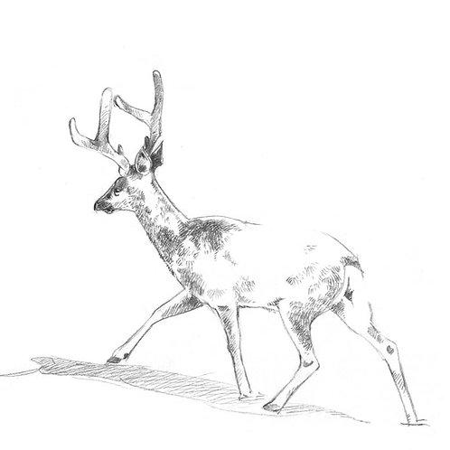 Série : construire efficacement un dessin : dessiner un jeune cerf