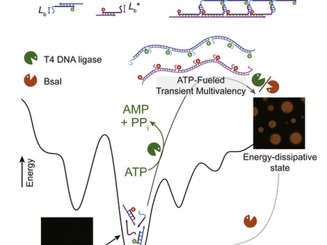 Programmable ATP-Fueled DNA Coacervates by Transient Liquid-Liquid Phase Separation