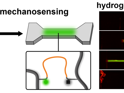 One-Component DNA Mechanoprobes for Facile Mechanosensing in Photopolymerized Hydrogels and Elastome