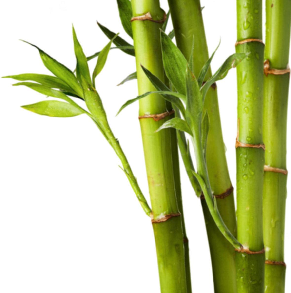 Bamboo.jpg 2015-12-3-19:15:9