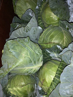 Homegrown Cabbage!