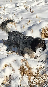 Gun Dog Training1.jpg