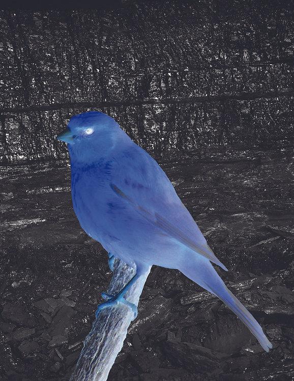 Canary_1_web.jpg