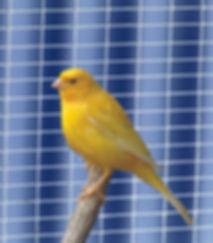Canary_6_web.jpg