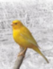 Canary_3_web.jpg