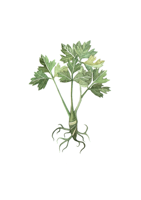 illustrations-medieval-flowers2.png