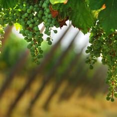 La-pianta-di-Settembre-la-vite.jpg