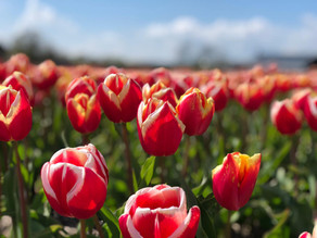 Oggi Tulipani in Olanda