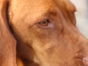 Ik wil een hond, een witte truffelhond