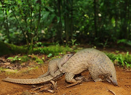Pangolins and other rare wildlife cal Laos home