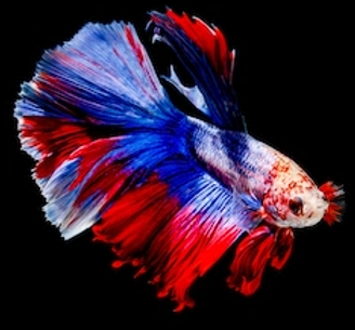 Siamese Fighting Fish 3