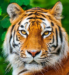Tiger Wildlife Filming Thailand