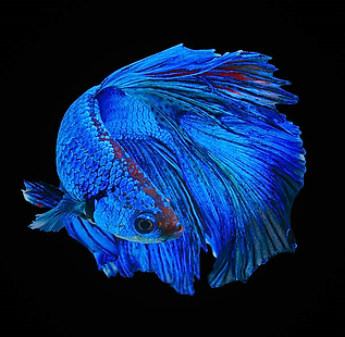 Siamese Fighting Fish 2