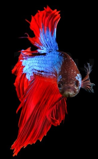 Siamese Fighting Fish 1