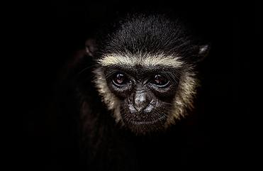 A Gibbon