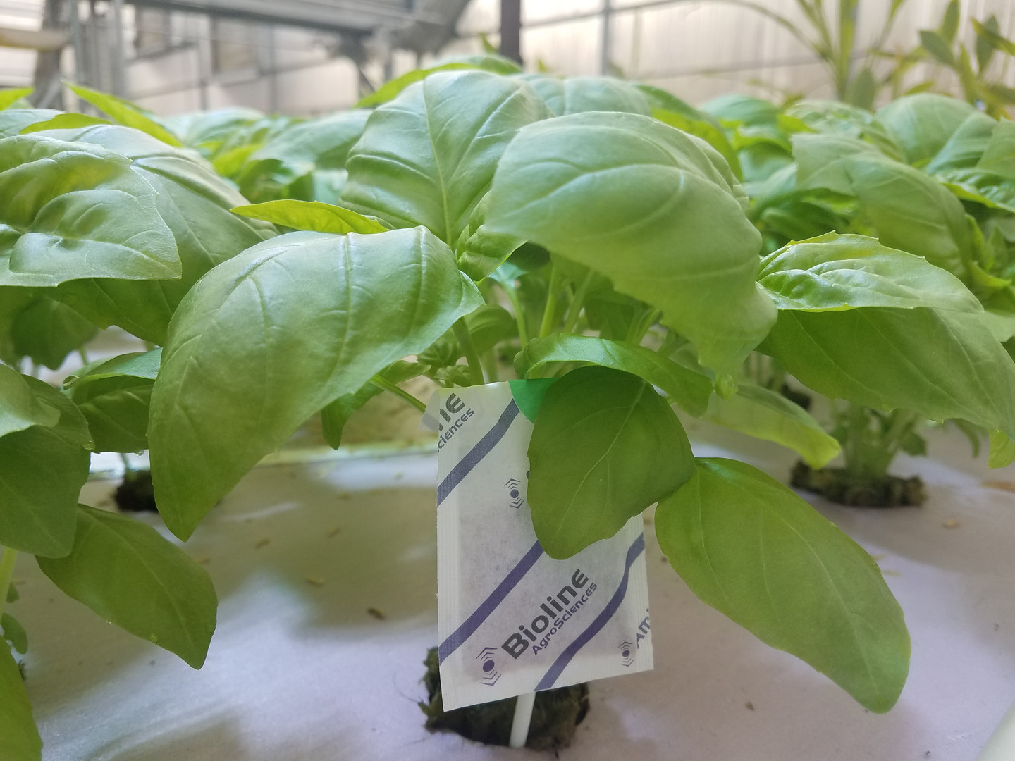 Young Genovese Basil with beneficial insect sachet