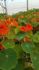 Flower Power Nasturtiums.jpg