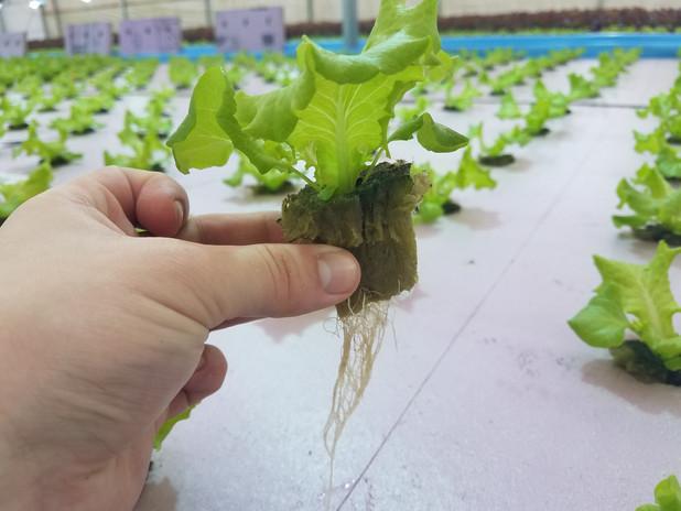 S.O Southern crisp seedling roots.jpg