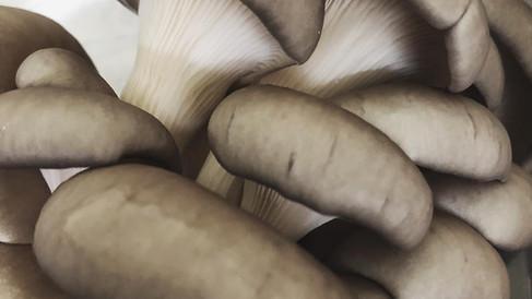 Brown Oyster Mushrooms