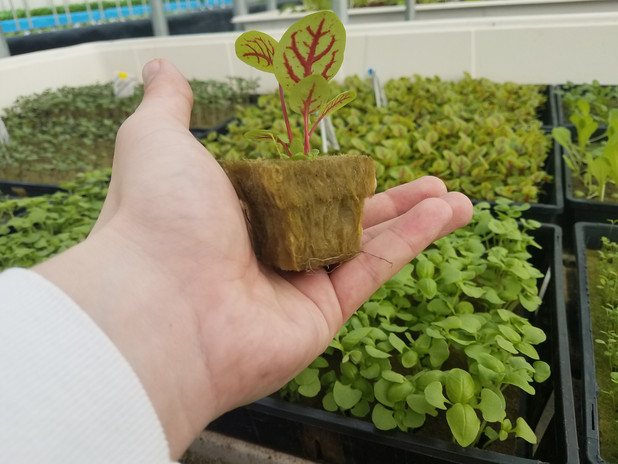 Red Veinned Sorrel ready to plant