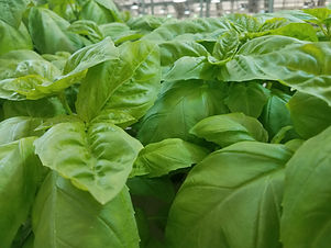 SFP basil close up.jpg