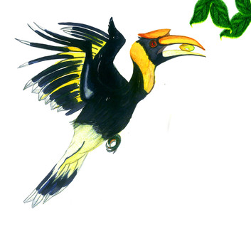 Yellow Pied Hornbill
