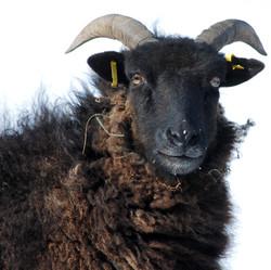 Single heb sheep