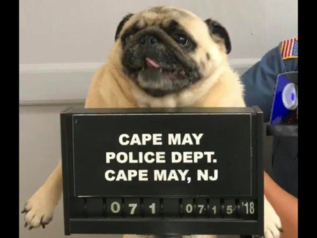 NJ Police Post Mugshot of Lost Pug, Bail Paid in Cookies