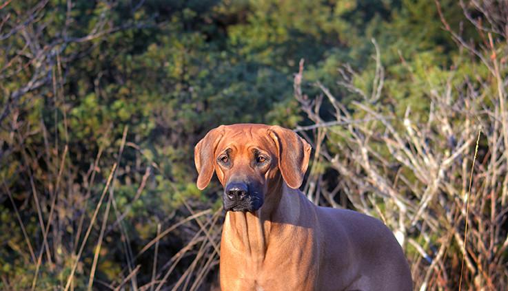 Rhodesian Ridgeback valper 2019