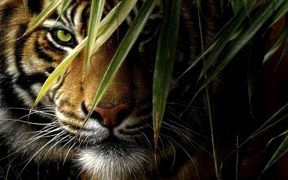 287518-tiger-hd-wallpaper_edited.jpg