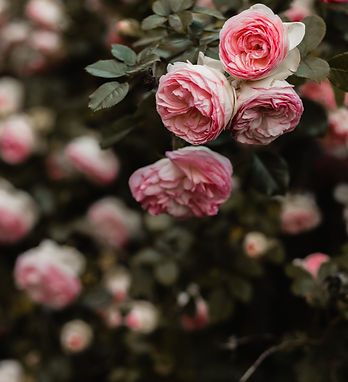 pink%20petaled%20flowers%20selective%20f