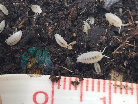 The Use of Dwarf White Isopods in the Reptile Hobby