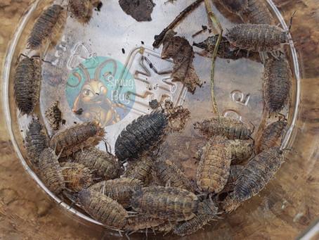 Beginner Friendly Isopods