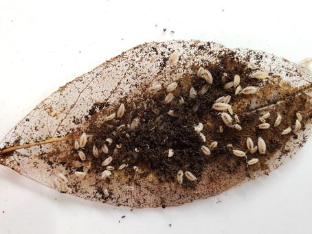 The Dangers of Dwarf White Isopods in Invertebrate Setups