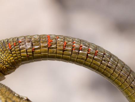 Mites in Isopod Setups