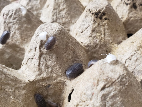 Isopods, Humidity, and Moisture