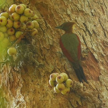 "Checker-throated ""Javan"" Woodpecker"