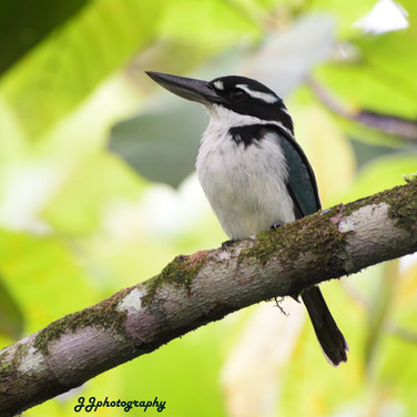 Sombre Kingfisher (Todiramphus funebris)