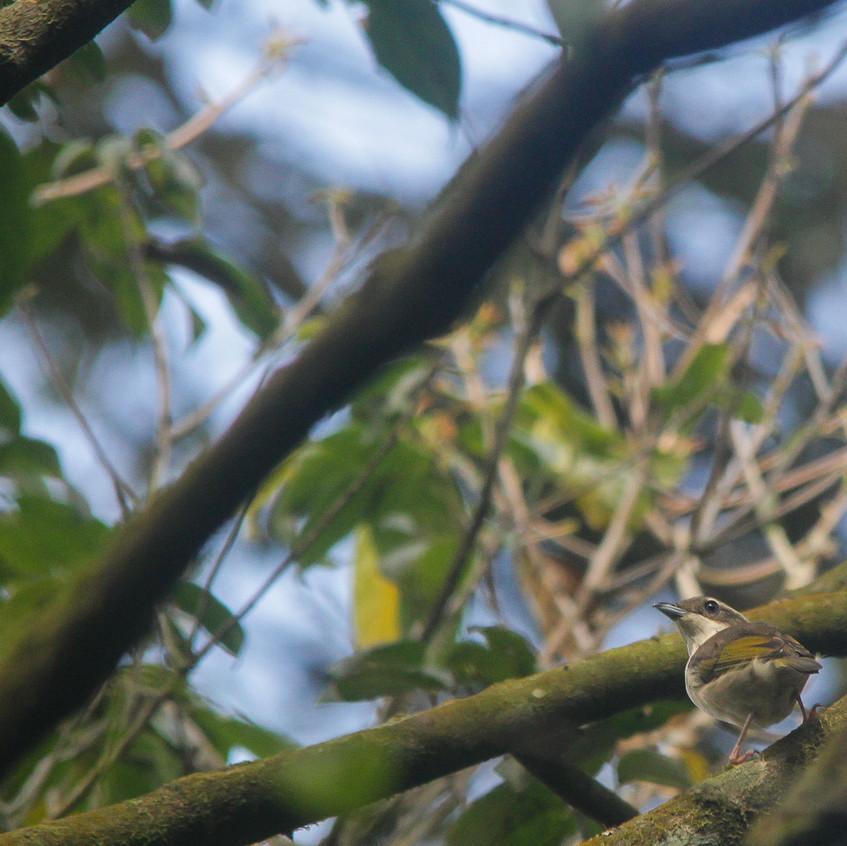 Female Pied Shrike-babbler