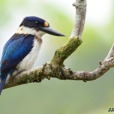 Blue and white Kingfisher (Todiramphus diops)