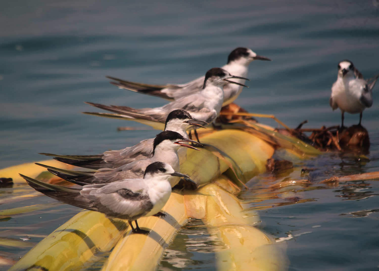group of Common Tern
