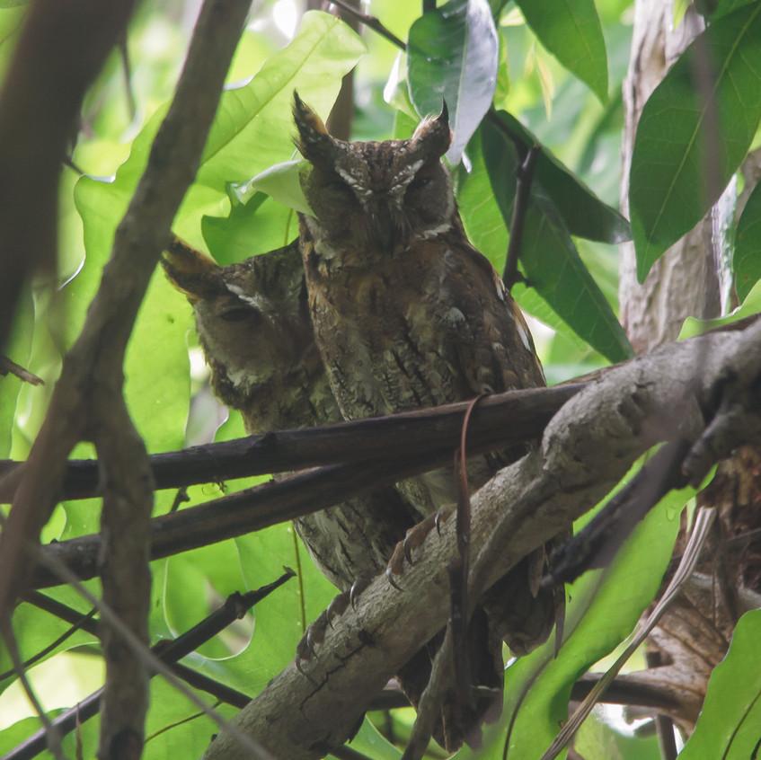 Mollucan Scops Owl